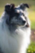 Hembra biblue merle de Shetland Sheepdog llamada CH Driss Bleue du Grand Pré d'Ortignac propiedad de Azulian