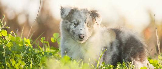 Cachorro bi blue merle de shetland sheepdog de Azulian