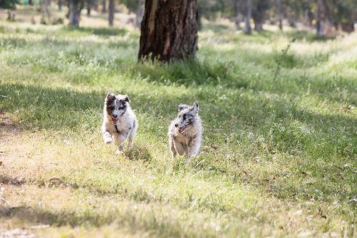 Cachorros de shetland sheepdogs de color bi blue merle del afijo azulian corriendo por el campo