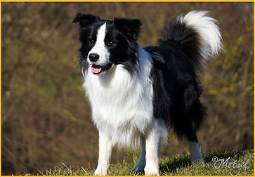 Neecabe Say Isnt So, llamado Cash, border collie padre de Kynagon Dear Darling propiedad de azulian