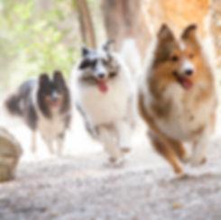 Shetland Sheepdogs del Afijo Azulian corriendo