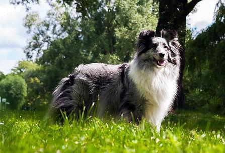 CH Driss Bleue du Grand Pré d'Ortignac, shetland sheepdog hembra de color biblue merle propiedad de azulian