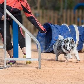 Shetland sheepdog bi blue merle de azulian practicando agility