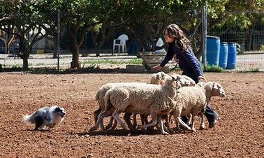 Shetland sheepdog herding sheeps pastoreo ovejas