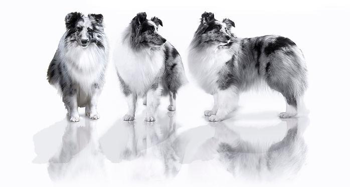 CH Driss Bleue du Grand Pré d'Ortignac, shetland sheepdog de color biblue merle propiedad de Azulian