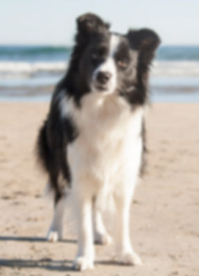 Kynagon Dear Darling, Border Collie propiedad de Azulian
