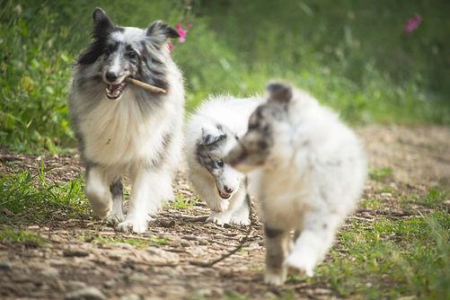 Cachorros y mamá de shetland sheepgdogs de color bi blue merle del afijo azulian