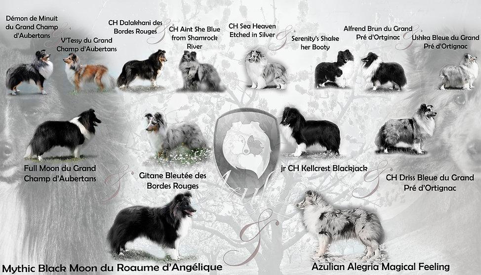 Pedigree Shetland Sheepdog del criador Azulian