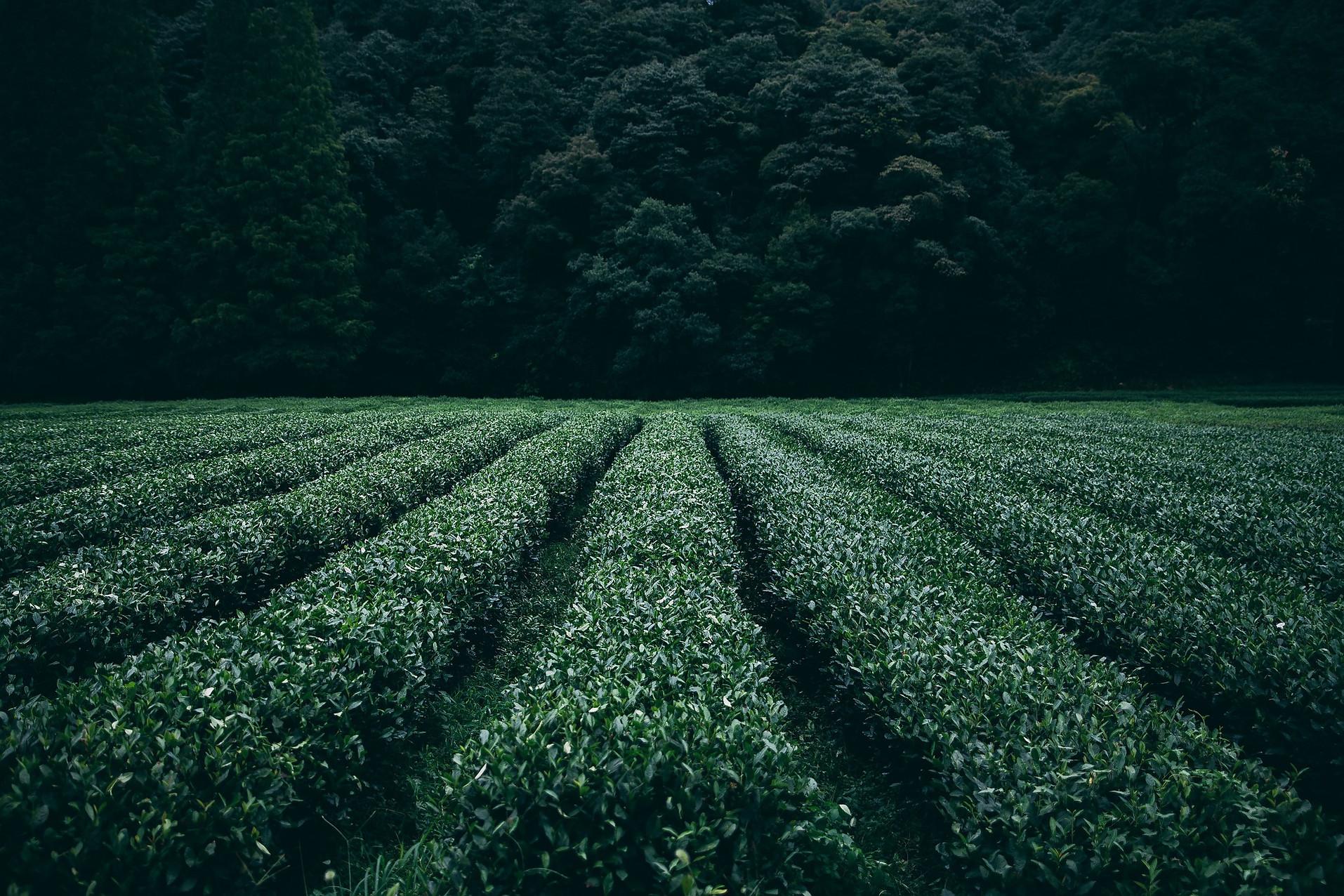 plantation-945400_1920.jpg