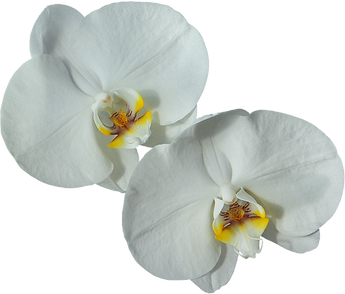 Lumeria flower expressing the purity of purified canned drinking water