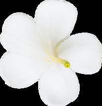 back of plumeria white flower