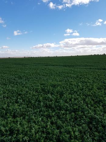 Alfalfa fields on Walker Farm.