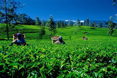 Sri-Lanka-Tea-Plantation-21[1].jpg