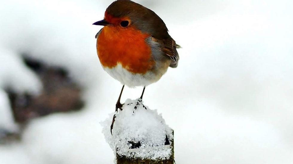 812148 Christmas Robin