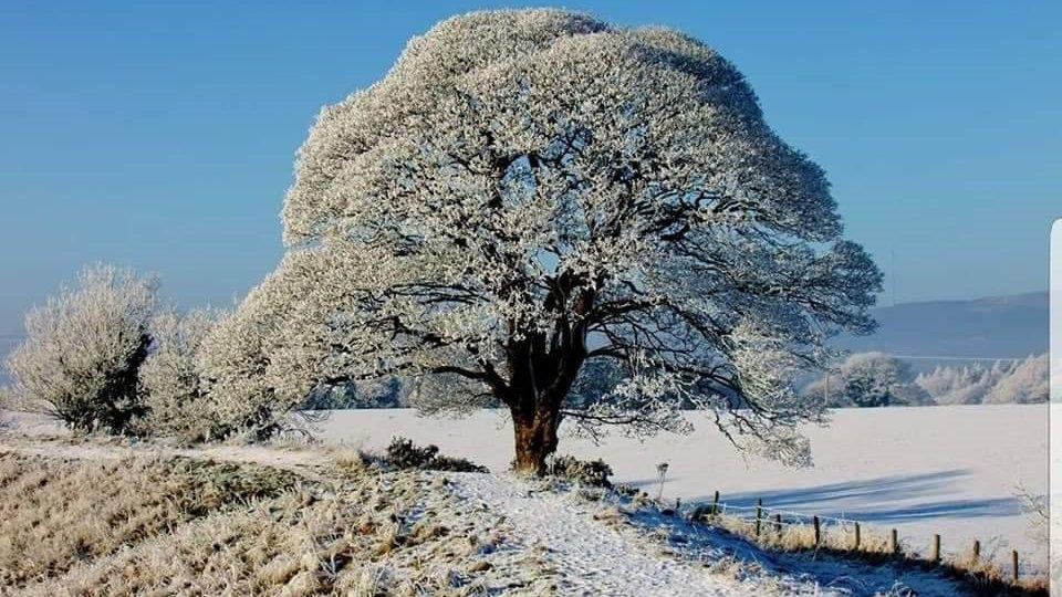 812164 Snow Blossom