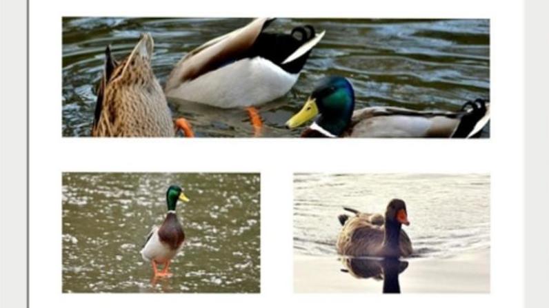 812172 Triple Duck