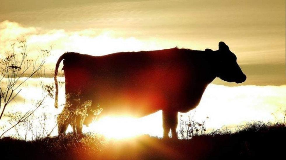 812126 Golden Cow