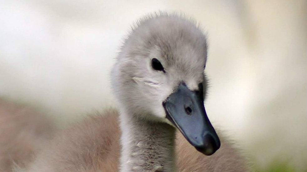 812149 Baby Swan Alone