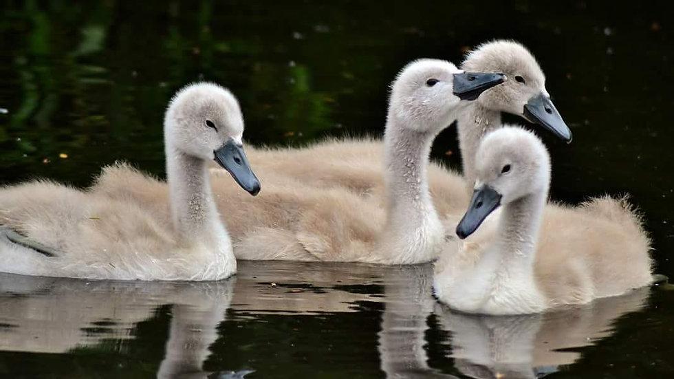 812150 Baby Swans