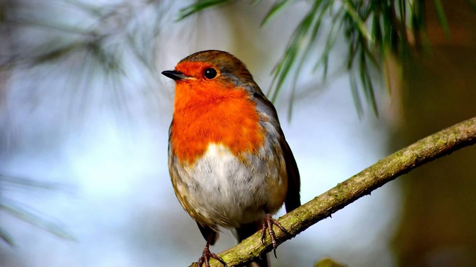 Lonely Robin