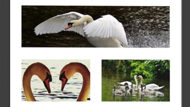 812173 Triple Swan