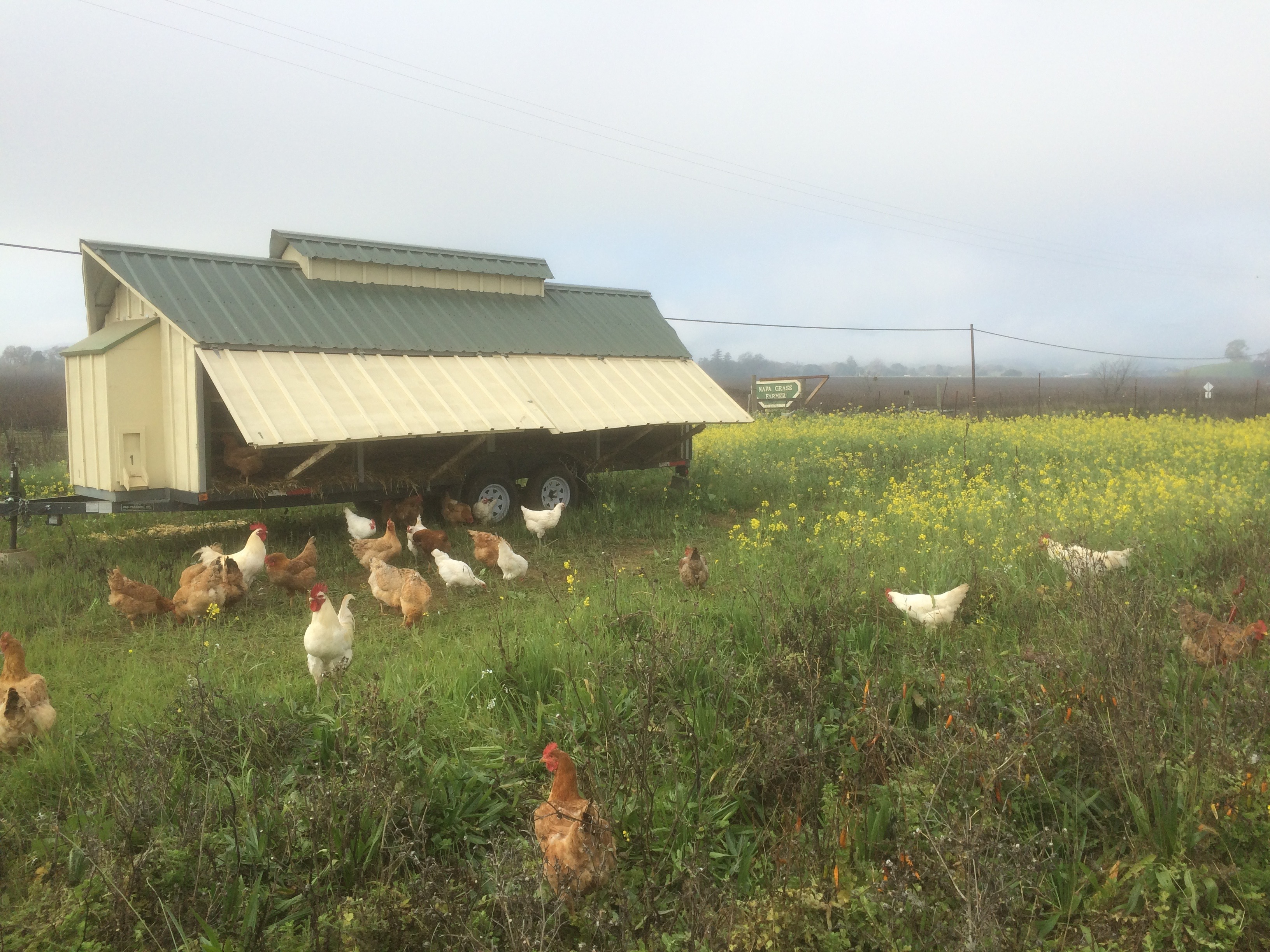 Chickens out Front