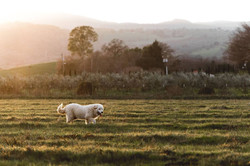 Maremma Guarding Pasture