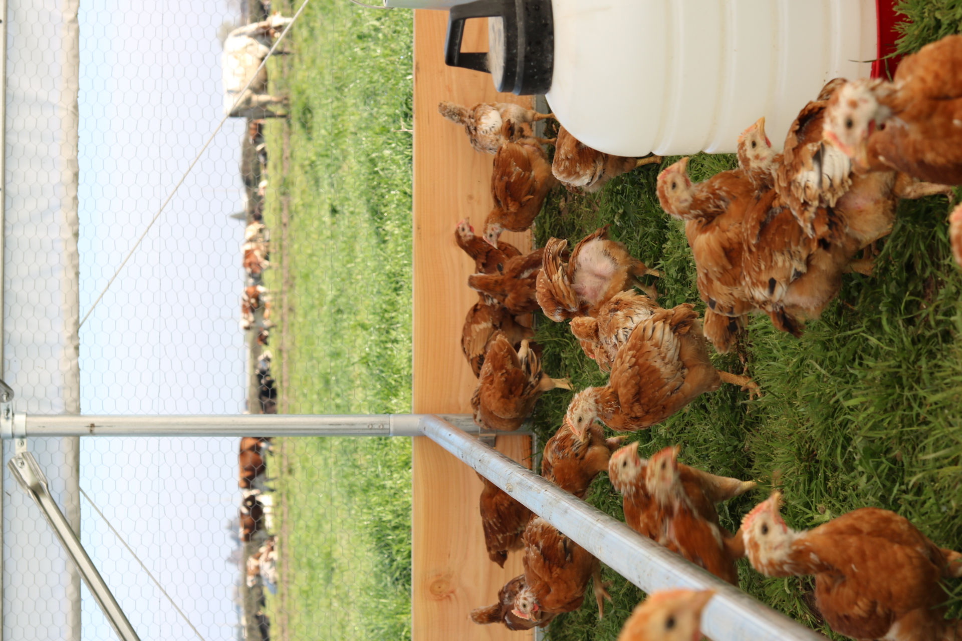 New Batches of Chicks