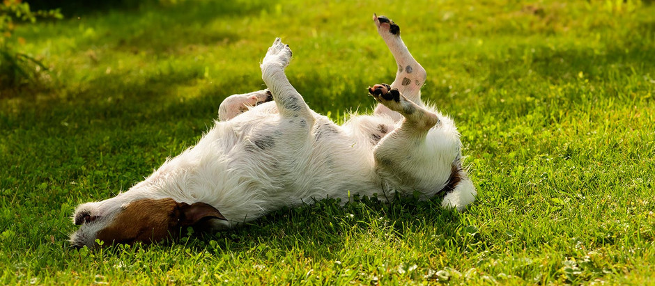 5 Natural Itchy Skin Home Remedies for Dogs
