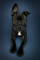 This is a portrait of a black puppy with a small patch of white on her chest. She is wearing a bright red colour that contrasts against the dark blue background hind her. She is looking directly at the camera with one ear flopping down and the other stood up straight. This puppy is a cross between a french bulldog and a staffordshire bulldog, so has big tall ears.