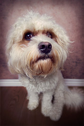 This is a portrait of a white dog with fluffy and curly fur where you can only see his head and body. He has dark black eyes and matching nose and is looking towards the camera. Behind him is a brown background and dark wooden floor with a white skirting board.