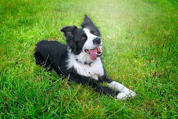 This is a landscape photo of a large border collie dog. He has black and white long fur, particularly around his ears. He is laying on bright green grass with hi pink tongue hanging out on the side. He appears to be happy and comfortable, resting on the ground.