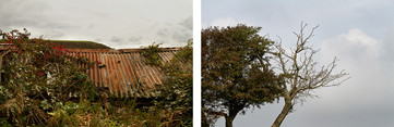 Left: This is an image of a rushed metal shed roof in tones of brown and orange. Overgrowth and tree branches are clinging to the sides of it as nature reclaims this building.  Right: This is an image of two trees on the left side of the photo. The one is covered in leaves and small red berries, the one next to it is bare and most likely dead. Behind is a cloudy sky.