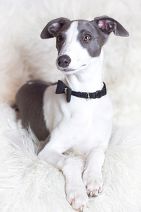 This is a pale portrait image of a grey and white puppy whippet sitting down on a white fluffy blanket. Her ears are pricked up slightly, as though she has heard or seen something of interest and she looks behind the camera to the left. She is wearing a shiny black bow that is decorated with diamonds.