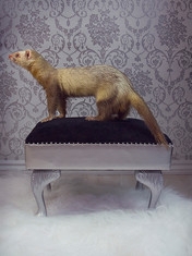 This is a portrait image of a grey and pale yellow ferret stood on a black and silver stool with diamond decorations. The image captures the ferret side on with the full length of it's body on show; fem head to long fluffy tail. Behind him is a silver and white victorian printed wallpaper pattern, making the photo seem rather regal. Underneath the stool is a white fluffy blanket.