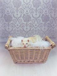 This is a portrait image of a white ferret laying on a fluffy white blanket that is placed inside of a light brown whicker basket. Behind him is a silver and white victorian printed wallpaper pattern, making the photo seem rather regal. Underneath the basket is a white wooden floor. The creature appears to be calm and is looking directly at the camera.