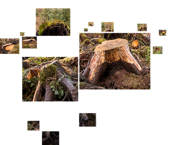 This is a colour landscape photograph of tree stumps that have been recently fell. The tumps and cut yellow edges of branches have been separated into rectangular shaped boxes and the background removed so that they float in a white background without the full context of where they are. Some of the boxes containing the tree stumps and cut branches are small, others large and dominate the collage.