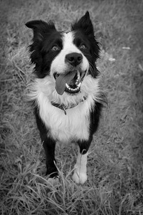 This is a black and white portrait photograph of a black and white large border collie. He is stood in a grassy garden in the centre of the image with his mouth open and tongue hanging out. His head is turned slightly upwards with his eyes looking behind the direction of the camera.