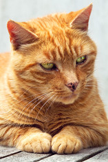 This is a close up portrait of a ginger cat with pale green eyes. The cat is looking towards the right side of the image, indifferent to the camera. The cropped image shows the details of it's long white whiskers and patterns of ginger and pale yellow fur. Behind this pet is a white background.
