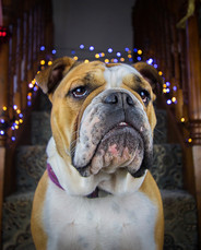 This is a portrait of a british bulldog in colours of white and pale brown. She is sat on the foot of a flight of carpeted stairs with blue and yellow christmas lights around her. She is posing beautifully as she faces the camera in a relaxed state.