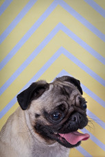A cream and black pug named Molly sits in front of a stripy yellow and white background. Her tongue is out and she has her mouth wide open. This headshot is just of the dog's head and neck, emulating a human headshot.