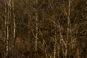 This is a scene in limited tones of brown and muted yellows of silver beech trees set against a rocky outcrop. The forest is bathed in golden Winter sunlight and each naked twig is highlighted against the darker background.