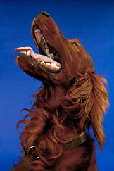 This is a close up portrait image of a red setter dog in tones of dark red to pale ginger and orange. The image crops in to show his head and neck. As he looks upwards, his mouth is open wide, with a pink tongue slightly hanging out. Behind him is a dark blue background which compliments his ginger and brown fur.