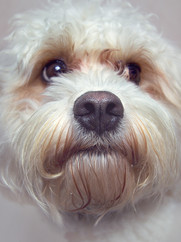 This is a close up portrait of a white dog with fluffy and curly fur where you can only see his head and neck. He has dark black eyes and matching nose and is looking towards the right side of the image, away from the camera, probably at a piece of cheese.
