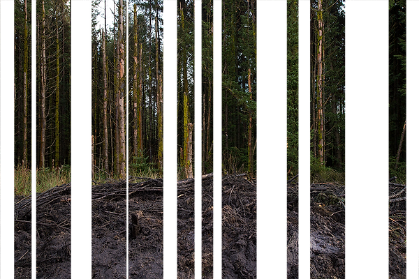 This is a rectangle and landscape photograph of forest of non native species of pine tree. In the foreground there is a muddy black section where large machinery has churned up the landscape. The photograph has been cut into vertical sections, much like the shape of the trees stood in the background of the image.