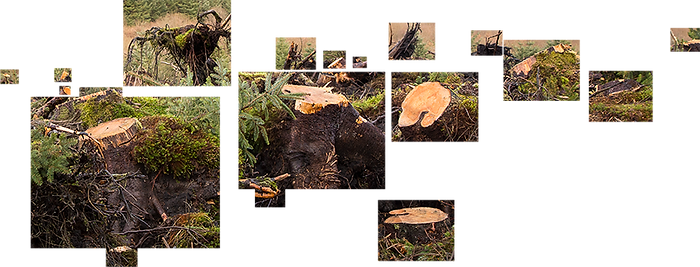 This is another photograph made up of smaller images of fell tree stumps and cut branches. The tumps and cut yellow edges of branches have been separated into rectangular shaped boxes and the background removed so that they float in a white background without the full context of where they are. Some of the boxes containing the tree stumps and cut branches are small, others large and dominate the collage.
