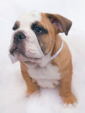 This lovely puppy pooch named Hercules is sat on top of a white fluffy blanket. It's head is slightly turned to the left, looking away from the camera. It's breed is a British bulldog, known for it's muscular, hefty body and wrinkled face with a distinctive pushed-in nose. It has a cream coloured belly and middle section of it's face with the rest of it's fur being a pale brown colour. The background is white and airy, creating a soft, innocent feel. This image is shot in a style commonly seen with newborn babies.