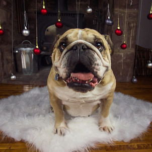 This is a full length square image of a white and pale brown bulldog sat on a fluffy white blanket in front of a dark brown fireplace with Christmas baubles hanging on strings. The decorations are red, silver and pale gold in colour. The dog is facing the camera, looking directly into the lens with it's mouth open and pink tongue exposed.