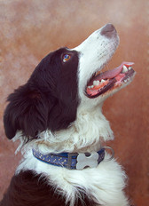 Rex is a large border collie dog, commonly used as sheepdogs. He has black and white long fur, particularly around his ears. This is a headshot image of the good boy, looking across at his side profile. His head is peering upwards, and mouth wide open, hoping for a treat no doubt. Rex wears a blue collar with a bone chapped clasp. The textured orange background makes him appear dreamy and like a painting.