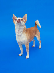This is a portrait of a small chihuahua dog in colours of white and pale brown. Behind him is a sky blue background. The dog is standing up on the blue background and looking upwards with his tail raised.